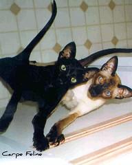 Soju & Rum in Stafford (Carpe Feline) Tags: cats cat siamese rum soju housecats spoiledcats carpefeline ebonyoriental