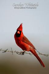 Cardinal on Fence