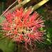 Kiwi Flower (7413)