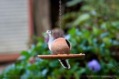 Bar Shouldered Dove