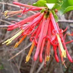 Quintral / Chile Parasite Wild Flower (LeonCalquin) Tags: chile wildflowers quintral leoncalquinphoto natureplantsflowersgroup chileparasitewildflower
