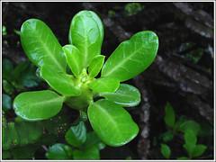 Green Leafs (Maheshyu) Tags: monsoon greenery greenleafs treak photographerspune