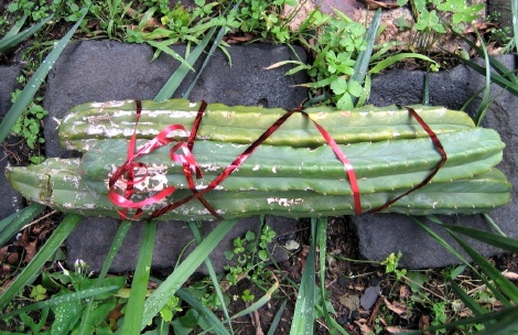 Jaye's birthday cactus