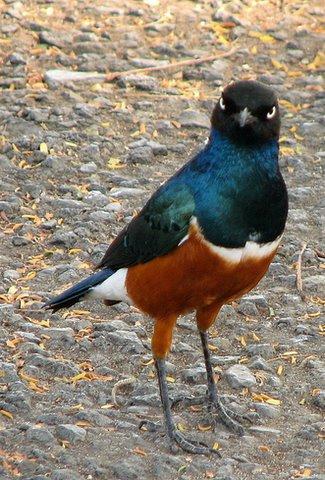 Superb Starling..most common bird in Tanzania