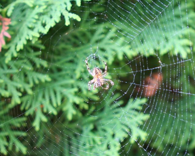 Soggy Spider