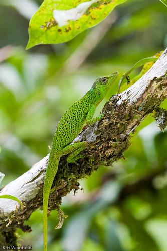Amazon Lizard