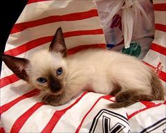 Sealpoint Kitten Awake (jacquiscloset) Tags: cats cat kitten siamese kittens sealpoint siamesekittens tinykittens