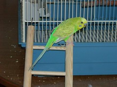 DSCN1474 (PhotoPieces) Tags: bird budgie parakeet ilovebirds