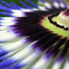 Closer to Passion (ecstaticist) Tags: flower macro nature passiflora flowerotica specnature artlibre anawesomeshot