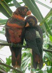 I love you (Liz Walker 1975) Tags: park love animal couple parrot safari lory dusky woburn naturesfinest