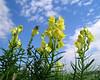 last summer days '07 (elisabatiz) Tags: plant flower yellow garden wildflower naturesfinest comely aplusphoto ~vivid~ naturewatcher
