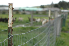 Fence Friday: The Harley Farm Edition (heyk8) Tags: california pescadero goatfarm harleyfarm alpinegoats fencefriday theymakethebestgoatcheese