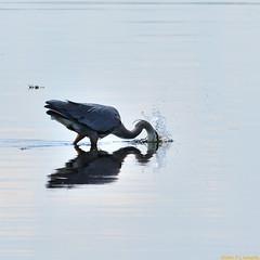 Fishing Heron (20100611-134411-PJG) (DrgnMastr) Tags: birds geotagged cropped shediac greatblueherons interestingness498 i500 grouptags abigfave avianexcellence allrightsreserveddrgnmastrpjg eiap rawjpg citritgroup explore20100613 geo:lat=46226044 geo:lon=64544639 pjgergelyallrightsreserved