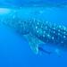 Whale Sharks_1