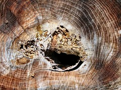 Texture Tree Rings (Refocus Photography) Tags: brown tree texture outside outdoors tan ring rings stump trunk treering