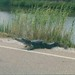 A genuine Louisiana alligator crossing
