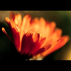 Nutshell (Explored) (Danny Yao) Tags: orange flower nikon bokeh danny marco aliceinchains yao nutshell 105mm f28g d80