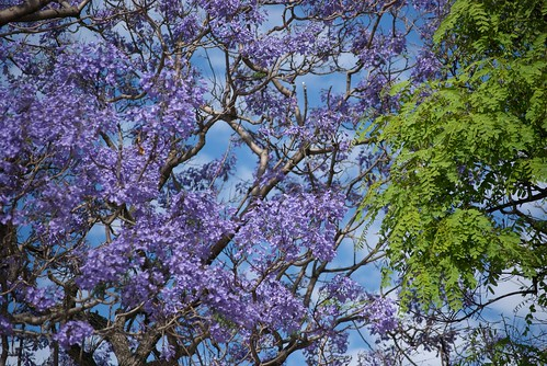 Jacaranda and Tipa