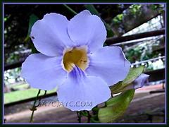 Macro flower of Thunbergia laurifolia (Blue Trumpet Vine, Blue Sky Vine, Laurel-leaved Thunbergia, Laurel Clock Vine)