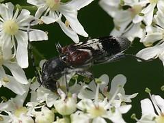 Anaglyptus mysticus (Walwyn) Tags: insect beetle warwickshire coleoptera cerambycidae walwyn draycotemeadows anaglyptus taxonomy:binomial=anaglyptusmysticus profmoriartydotcom:book=145 profmoriartydotcom:book=144