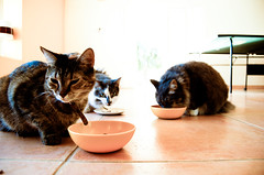 Cat Eating by Kitsuney, on Flickr