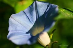 Here Comes The Sun... (aplseed photography) Tags: morning flowers summer macro sunshine dof bokeh blooms 2007 aclass sigma50mm naturesfinest mygraden impressedbeauty