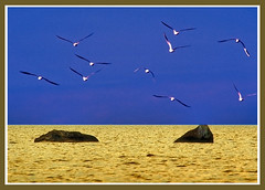 flight over golden sea (Henri Bonell) Tags: sea seagulls golden flight themoulinrouge naturesfinest supershot abigfave henribonell holidaysvacanzeurlaub goldenphotographer diamondclassphotographer colourartaward theperfectphotographer