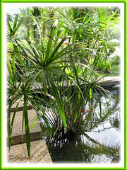 Cyperus involucratus (Umbrella Plant), growing in a fish pond at Felda Residence Hot Springs