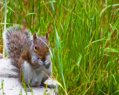 Shake Your Bushy Tail ! (Mona Hura) Tags: up nose squirrel toes little tail nursery gray your acorn shake wrinkle hold rhyme bushy