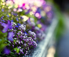 Alyssum Borders (Kala_M) Tags: flowers light color dof bokeh kalam alyssum amatterofhowyouseeit