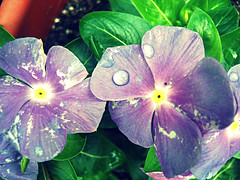 i just can't win anymore (Absolute Brightness) Tags: flower water waterdrop purple purpleflower waterdroplet