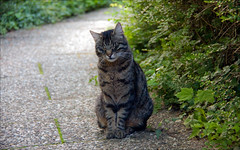 Ich bin so mde... / I'm so tired... (krys1969) Tags: cat tiger natur pflanzen mde katze fell miau weg weinberg pfoten haare ohren sitzen gehweg getigert hecke mieze krallen gestrpp strucher dsen stubentiger badems sonnenfels
