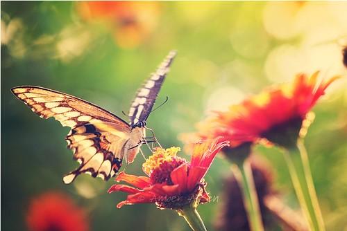 Swallowtail & Zinnia