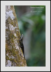 Keeled Grass Skink (Fahim Hassan) Tags: naturaleza nature beauty canon natur beaut environment hermoso  bangladesh beau belleza environnement schnheit umwelt ambiente   milieu  schoonheid
