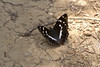 """dark butterfly on ground • <a style=""""font-size:0.8em;"""" href=""""http://www.flickr.com/photos/30765416@N06/5186048666/"""" target=""""_blank"""">View on Flickr</a>"""