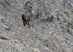 "chamois baby • <a style=""font-size:0.8em;"" href=""http://www.flickr.com/photos/30765416@N06/5186704325/"" target=""_blank"">View on Flickr</a>"