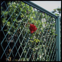 Single Red Rose (gullevek) Tags: flowers red plants black green 6x6 film yellow japan geotagged fuji bokeh  kanagawa  kawasaki sampo   scannedfromnegative iso50 rolleiflex28c epsongtx900 fujifortiasp50 geo:lat=35532466 geo:lon=139746048