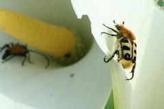 Trichie Fascie - Bee Beetle - Trichius fasciatus (SpUtNik 23 -RUR und MKZ) Tags: macro canon insect eos 350d belgium belgique beetle bee trichiusfasciatus hainaut fasciatus trichius beebeetle souvret