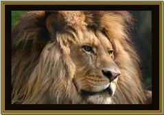 Lion - by TakenByTina