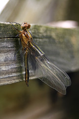 Last minutes of life (slippay) Tags: wood nature ilovenature outdoors wings dragonflies bokeh fences insects bugs weathered