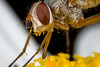 Proboscis (macropoulos) Tags: macro fly topf75 bravo 500v20f 500v50f daisy 1000v100f animalia arthropoda bicolor diptera oxeye insecta naturesfinest hexapoda tachinidae magicdonkey 1500v60f 1000v40f calyptratae oestroidea 3000v120f brachycera mywinners canoneos400d specinsect tachininae 100faves100comments1000views macrophotosnolimits ysplix canonmpe65mmf2815xmacro magicofaworldinmacro macrofoted muscomorpha macromix canonmacrotwinlitemt24ex natureoutpost fischeria