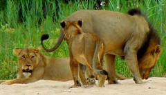 You ask you're father. (Jacques S G) Tags: africa wild animal cat lion safari predator carnivore awesomenature