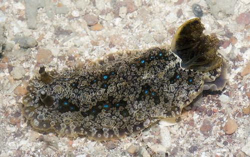 Dendrodoris denisoni