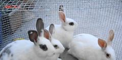 White Bunnies (Gioser_Chivas) Tags: conejo