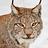 éléments de Lynx lynx