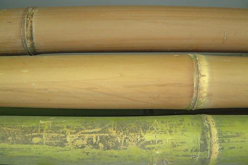 Argentine cane1.jpg