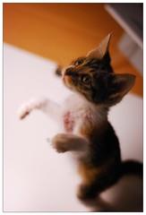 (Walt T) Tags: pet cute cat nikon kitten kitty kittens 貓 50mm18 喵喵 d80 kissablekat bestofcats cwcc camfma thebiggestgroupwithonlycats cmcnc