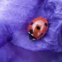 Snug as a Bug (Lloyd K. Barnes Photography) Tags: red macro bug insect purple ladybird ladybug zd supershot interestingness245 i500 35mmmacro35 lloydbarnes awesomebugs explore20070911 lloydkbarnes