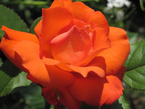 """Rose """"Bahia"""""""