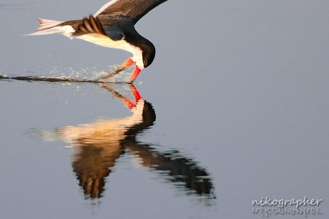 Black Skimmer @ Chincoteague, NWR VA